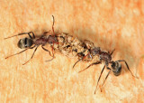 Compact Carpenter Ant - Camponotus planatus