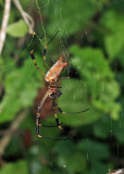 Golden Silk Orb Weaver - Nephila clavipes