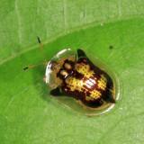 Yucatan Beetles 2013