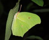 Yellow Angled Sulphur - Anteos maerula