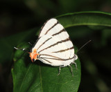 Fine-lined Stripe-streak - Arawacus sito
