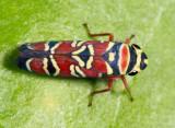 Agrosoma placetis