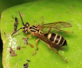 Polybia sp.
