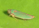 Graphocephala rufimargo
