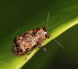 Pachybrachis sp.