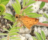 Fiery Skipper - Hylephila phyleus