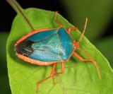 Red-bordered Stink Bug - Edessa rufomarginata