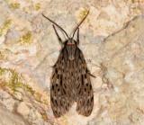 8271 - Little Carol's Wasp Moth - Nelphe carolina