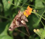 Zilpa Longtail - Chioides zilpa