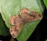 Calephelis sp.