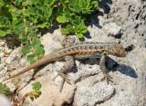 Cozumel Spiny Lizard - Sceloporus cozumelae
