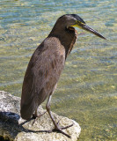 Bare-throated Tiger Heron - Tigrisoma mexicanum