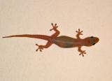 Common House Gecko - Hemidactylus frenatus
