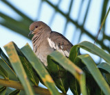 White-winged Dove - Zenaida asiatica