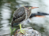 Green Heron - Butorides virescens (immature)