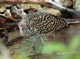 Bare-throated Tiger Heron - Tigrisoma mexicanum (immature)