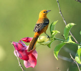 Hooded Oriole - Icterus cucullatus (female)
