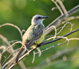 Couch's Kingbird - Tyrannus couchii