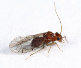 Anomopsocus amabilis