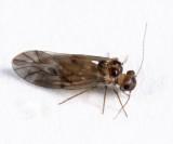 Peripsocus subfasciatus
