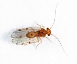 Ectopsocus briggsi