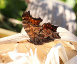 Eastern Comma - Polygonia comma