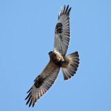 Rough-legged Hawk - Buteo lagopus