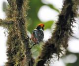 Flame-faced Tanager - Tangara parzudakii