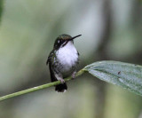 Booted Racket-tail - Ocreatus underwoodii (female)