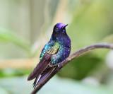 Velvet-purple Coronet - Boissonneaua jardini