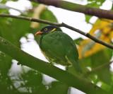 Orange-breasted Fruiteater - Pipreola jucunda