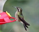 Speckled Hummingbird - Adelomyia melanogenys