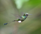 Booted Racket-tail - Ocreatus underwoodii