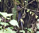 Lyre-tailed Nightjar - Uropsalis lyra