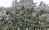 Band-tailed Pigeon - Patagioenas fasciata