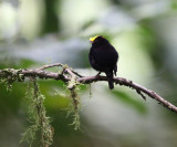 Golden-winged Manakin - Masius chrysopterus