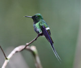 Green Thorntail - Discosura conversii