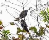 Bronze-winged Parrot - Pionus chalcopterus