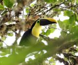 Chestnut-mandibled Toucan - Ramphastos swainsonii