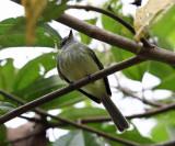 Greenish Elaenia - Myiopagis viridicata