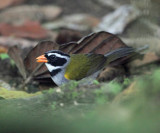 Orange-billed Sparrow - Arremon aurantiirostris