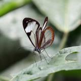 Sao Glasswing - Pteronymia sao