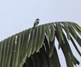 Snowy-throated kingbird - Tyrannus niveigularis