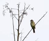 Piratic Flycatcher - Legatus leucophaius