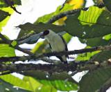 Masked Tityra - Tityra semifasciata