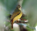 Ruddy-tailed Flycatcher - Terenotriccus erythrurus