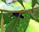 Tawny-crested Tanager - Tachyphonus delatrii