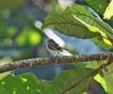 Choco Tyrannulet - Zimmerius albigularis