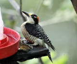 Black-cheeked Woodpecker - Melanerpes pucherani
