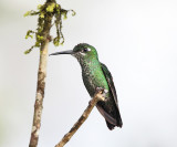 Green-crowned Brilliant - Heliodoxa jacula (female)